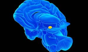 A rendering of the human brain highlighting the amygdala in yellow around the blue background of the brain.